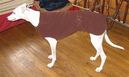 A white Greyhound is wearing a brown jacket standing on a hardwood floor inside of a house and there are three bar stools behind it.