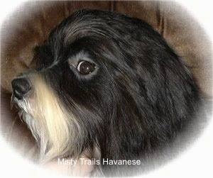 Close Up head shot - A black with white Havanese head is turned to the left. It is looking forward out the side of its eye