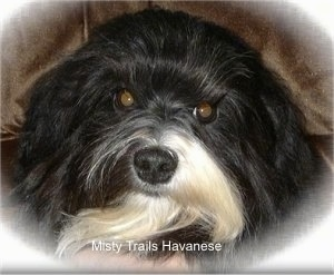 Close Up head shot - A black with white Havanese is laying on a brown couch
