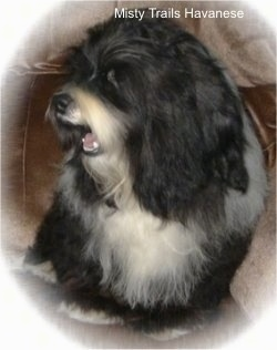 A black with white Havanese head is turned to the left. It is looking forward out the side of its eye. its mouth is open