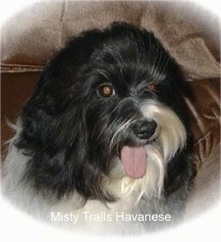 Close Up had shot - A black with white Havanese is sitting in the corner of a couch. Its mouth is open and tongue is out