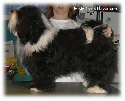 A black with white Havanese is standing on a countertop in a kitchen. There is a person behind it posing it in a stack.