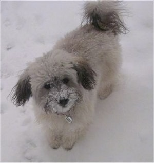 A white with grey Havanese is standing in snow with snow sticking to its mouth.