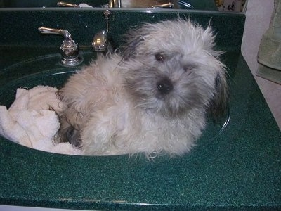 A white with grey Havanese is laying on top of a towel inside of a green sink.