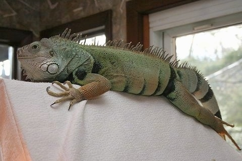 A large, green iguana is standing across the top of a chair that is covered in a blanket.