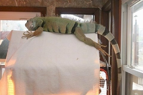 An iguana is laying on top of a tan blanket that is covering its cage.