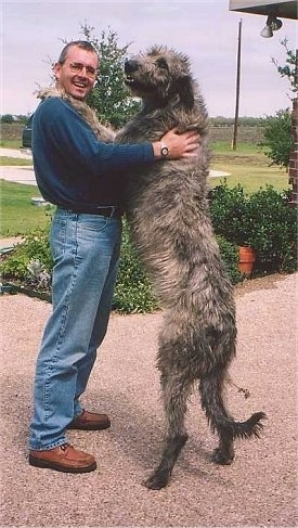 A tan with black Irish Wolfhound is sstanding on its hind legs, it has its front legs on the shoulders of a person. The person is smiling the Wolfhound is looking to the left. The dog is as tall as the man.