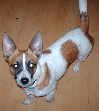 A white with brown Jack Chi is standing on a hardwood floor and looking up