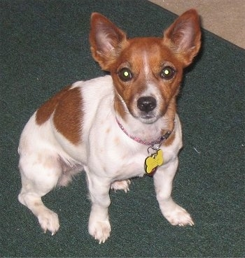 A white with red Jack-Rat Terrier is sitting on a green carpet and looking up