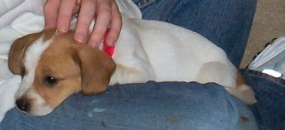 A white with tan Jack-A-Bee puppy is laying in the lap of a person wearing blue jeans.