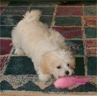 A white with tan Japillon puppy is standing on a red, green and white square print rug and biting a pink plush toy