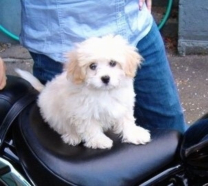 A white with tan Japillon puppy is sitting on the back seat of a motorcycle. There is a person in a blue shirt and blue jeans behind it