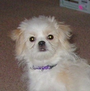 Sofie the 5-month-old Jatese (Japanese Chin / Maltese mix)