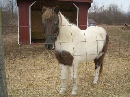 A brown and white paint pony is standing behind a fence and chewing on hay with a red lean-to shelter behind her.