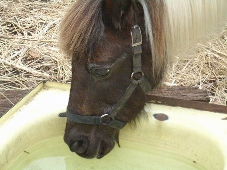 Close Up head shot - A brown and white paint pony is drinking water from an old medal bath tub out in a field.