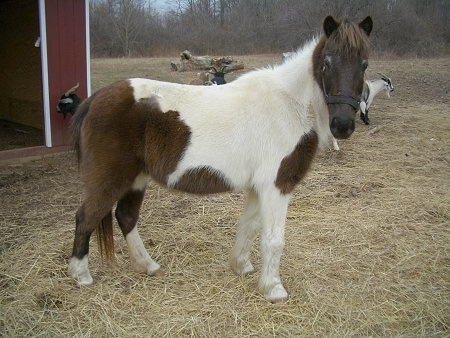 A brown and white paint pony is standing in straw and it is looking forward. There is a red barn behind it.