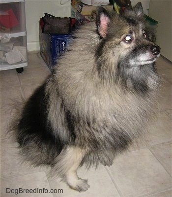 A Keeshond is sitting on a tan tiled floor looking up