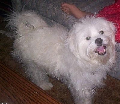 A fluffy white Kimola is standing next to a couch that a person is laying on. The dog's mouth is open, it looks like it is smiling