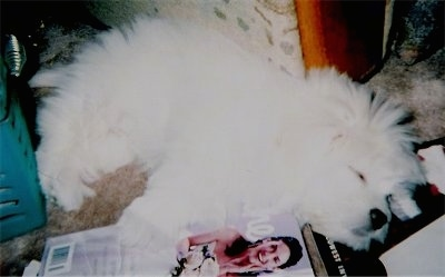 A fluffy white Kimola puppy is sleeping on a carpet on top of books and magazines and in front of a couch