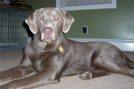 A silver Labrador Retriever is laying on a tan carpet in front of a green wall with a dog crate to the left and it is looking forward.