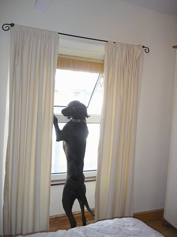 A black Labmaraner is jumped up at a window looking back at the camera holder. The top part of the window is open and the dog is looking to the left