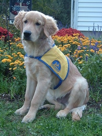 A Golden Labrador is wearing a yellow and blue vest and sitting in front of coloful flowers