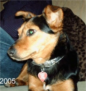 Close up front view shot - A black and tan Lancashire Heeler is laying next to a person who is wearing blue jeans on a couch with a leopard print blanket next to it and looking to the left.