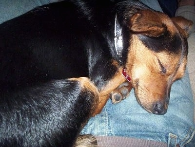 Close up - A black and tan Lancashire Heeler dog is curled up sleeping in the lap of a person who is wearing blue jeans.