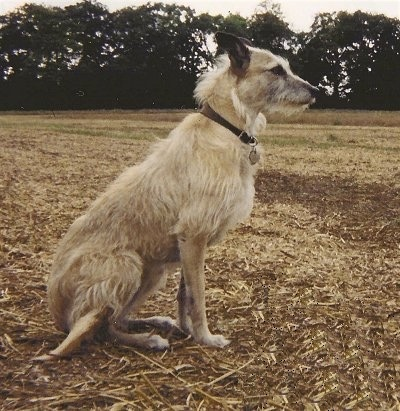 Right Profile - A rough-coated Lurcher dog is sitting in grass. The words - Penny June 2001 11th May 2005 is overlayed in the bottom right of the image.
