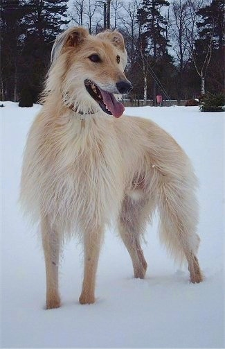 A long-haired tan with white Lurcher is standing in snow and looking to the left, its mouth is open and tongue is out.