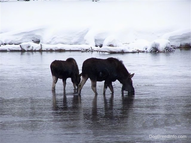 The right side of a two Moose drinking from a waterhole.