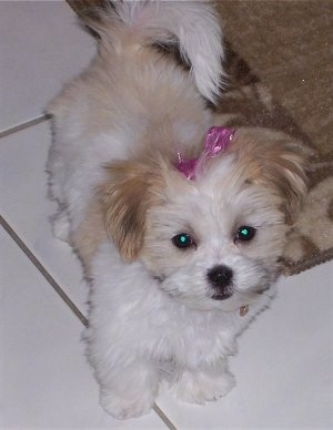 A little white with tan and black Mal-Shi puppy is standing on a white tiled floor next to a tan throw rug and there is a pink ribbon in its hair.