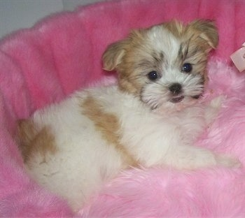 Bella, a Mal-Shi (Maltese / Shih Tzu mix) at 13 weeks, weighing 3 ½