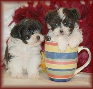 Two black and white Mal-Shi puppies are on top of a white table with red feathers behind them. One of the puppies is sitting inside of a coffee cup.