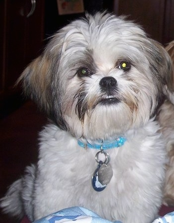 Bruno, Maltese / Shih-Tzu Cross (Mal-Shi)