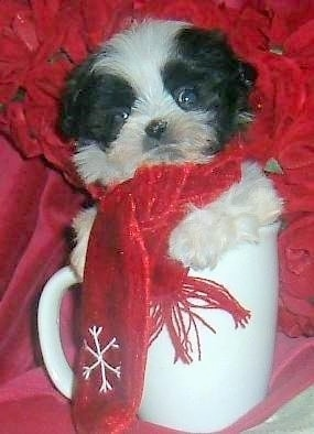 A small black and white Mal-Shi puppy is sitting in a white coffee cup wearing a red scarf that has a snowflake on it. There are red flowers and a red blanket behind it.