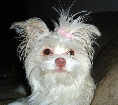Kylie, the Maltese/Long Haired Chihuahua mix (Malchi) at 10 months old