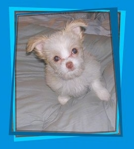 Kylie, the Maltese/Long Haired Chihuahua mix (Malchi) as a young puppy (3 months old)