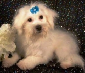 A longhaired white Maltichon dog is laying on a sparkly black backdrop and it has a teal-blue ribbon on its forehead. There is a white flower in front of it.