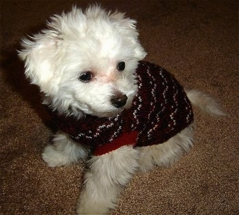 View from the top looking down - A white medium-haired Maltichon puppy is wearing a black with white and red sweater sitting on a tan carpet.