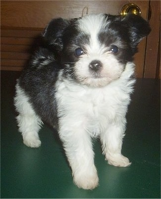 6 week old Papitese...or Maltillon as the breeder called her (Papillon / Maltese mix)
