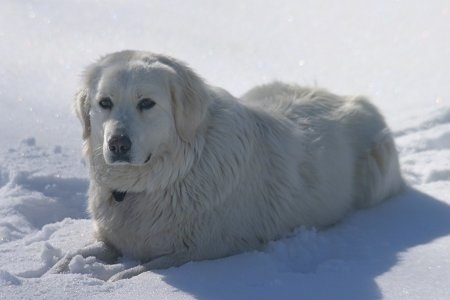 Maremma Sheepdog, at 3 years old