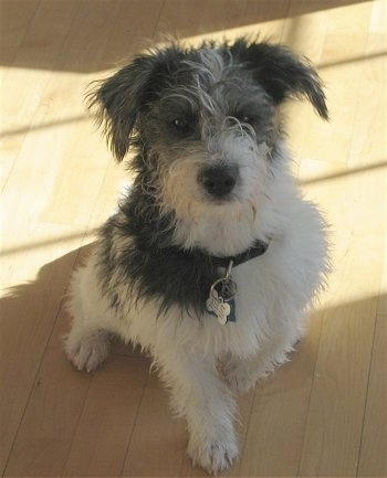 Front view - A scruffy looking black and white Mauzer is sitting on a hardwood floor in a house.