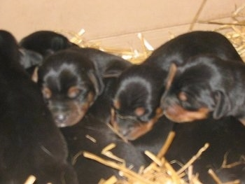 A litter of black and tan Meagle puppies are sleeping in a pile on top of straw.