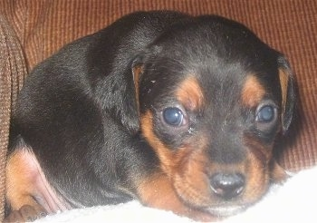 Close up front view - A black and tan Meagle puppy is laying near the arm of a brown couch.