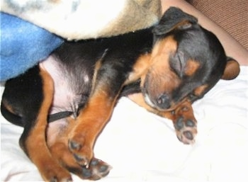 Close up - A black and tan Meagle puppy is sleeping on top of a person.