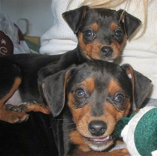 Two black and tan Meagle puppies. One puppy is laying on top of the puppy in front of it. There is a person behind them.