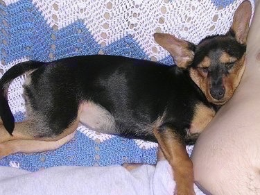 A large eared black and tan Meagle puppy is sleeping against a persons side on a couch that has a blue and white blanket over the back of it.