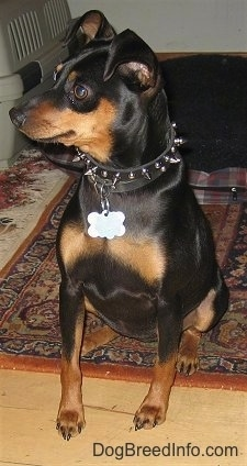 View from the front - A black and tan Miniature Pinscher is wearing a black spike collar sitting with its back end on a throw rug and front end on a hardwood floor looking to the left.