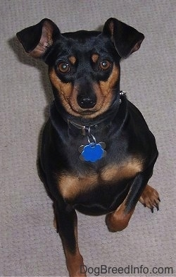 View from the top looking down - A black and tan Miniature Pinscher dog is sitting on a tan carpet with its right paw in the air.